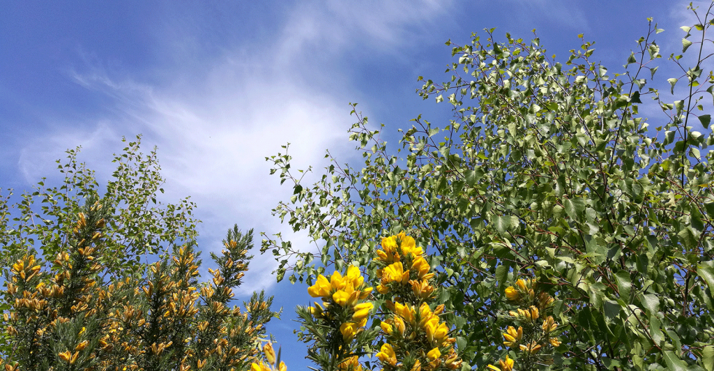 gorse-bush-with-yellow-flowers,-trees-and-blue-sky